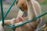 Młody gibon białopoliczkowy narodzony we wrocławskim Zoo (fot. mat. Zoo Wrocław)