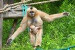 Niedawno na świat przyszedł gibon białopoliczkowy, którego można oglądać w pawilonie dla małp (fot. mat. ZOO Wrocław)