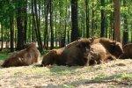 Zagroda Żubrów w Pszczynie (fot. archiwum Zagrody Żubrów)