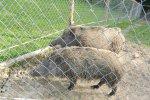 Na szczęście dziki były za płotem (fot.ola)