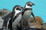 Śląskie zoo zamieszkają pingwiny peruwiańskie - Humboldta (mat. organizatora)