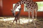 Żyrafa przyszła na świat 13 września. To dla niej szczęśliwa data (fot. mat. Parku Śląskiego)