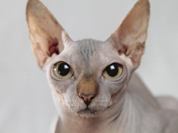 Na wystawie będzie można zobaczyć m.in. sfinksy (na zdjęciu), koty bengalskie i rosyjskie niebieskie (fot. pixabay)