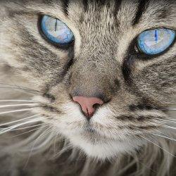 Pokaz Kotów Rasowych odbędzie się 10 listopada w Katowicach (fot. pixabay)