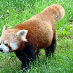 Pandy czerwone w warunkach naturalnych wystepują w Azjii (fot. mat. Park Śląski)