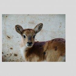 Jeden z kobów liczy (fot. materiały zoo)