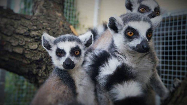 Lemury (fot. materiały prasowe)