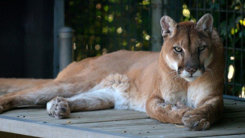 Puma miała być widziana w okolicach Piasku (fot. mat. pixabay)