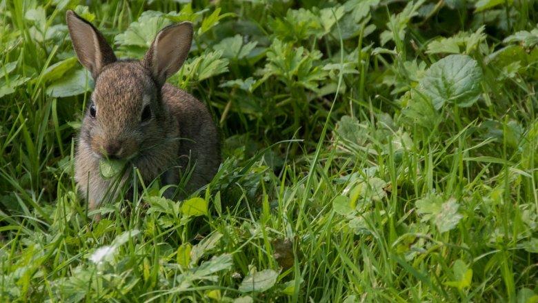 Jak króliki mogą wpłynąć na środowisko naturalne? Tego dowiecie się w Muzeum Górnośląskim (fot. pixabay)