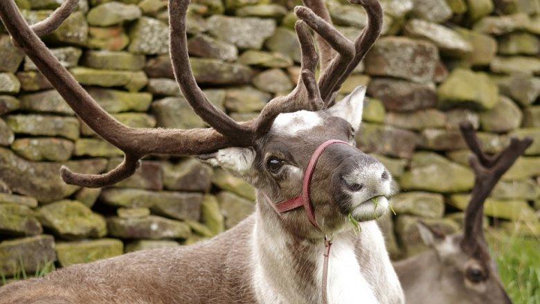 Jedną z atrakcji tegorocznego Chorzowskiego Jarmarku Świątecznego będzie zagroda z reniferami (fot. pixabay)
