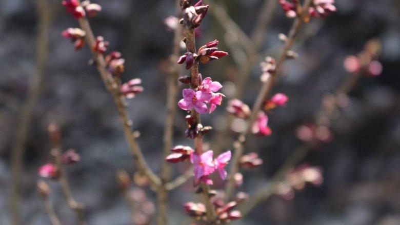 Pierwszy dzień wiosny w Śląskim Ogrodzie Botanicznym będzie obchodzony 22 marca (fot. mat. organizatora)
