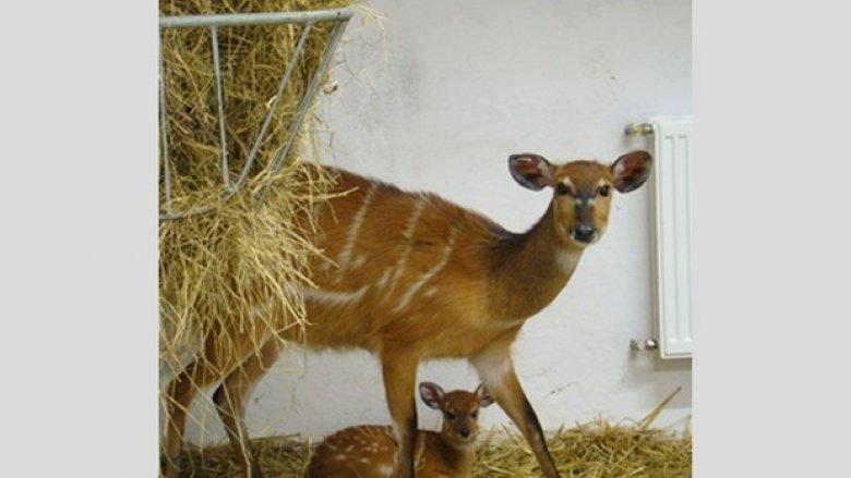 Młoda sitatunga z mamą (fot. materiały zoo)
