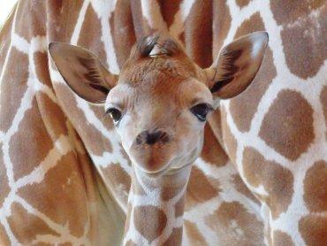 To kolejne radosne narodziny żyrafy w chorzowskim zoo (fot. FB Śląski Ogród Zoologiczny)