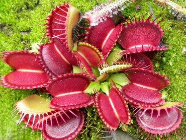 Dionaea muscipula czyli Muchołówka amerykańska - jedna z roślin owadożernych (fot. materiały Śląskiego Ogrodu Zoologicznego)