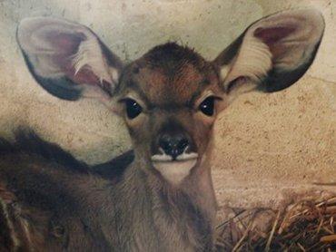 Mimba - nowo narodzona antylopa chorzowskiego zoo (fot. mat. Śląskiego Ogrodu Zoologicznego)
