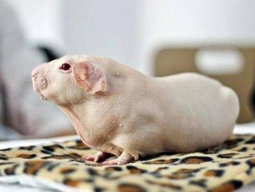Na wystawie w Dąbrowie Górniczej będzie można oglądać m.in. świnki rasy skinny (fot. mat. prasowe)