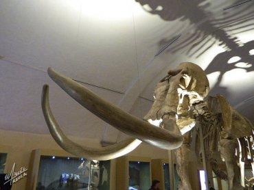 Szkielet mamuta (fot. foter.com)