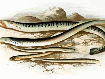 Nazwa rzeki wzdłuż, której odbędzie się spacer wzięła się od ślepicy, czyli larwy minoga (fot. mat. organizatora)