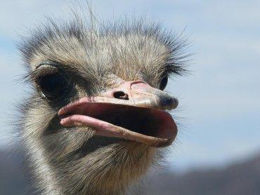 Strusie to największe z żyjących współcześnie ptaków (fot. sxc.hu)