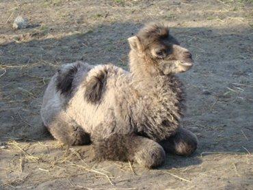 Nowonarodzona wielbłądzica Lena (fot. materiały Śląskiego Ogrodu Zoologicznego)