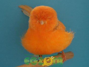 Kanarek (fot. mat. Egzota)