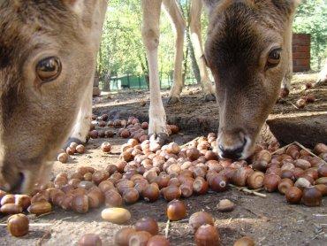 Kasztany i żołędzie to przysmaki wielu zwierząt (fot. materiały zoo)