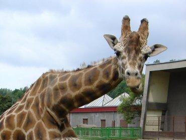 W śląskim ZOO można od niedawna podziwiać również żyrafy, które wróciły tu po kilku latach nieobecności (fot. wok)